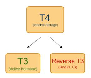 Thyroid hormone metabolism