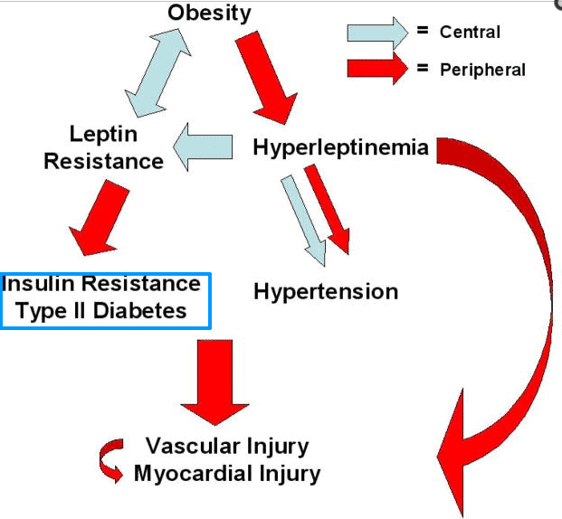 Leptin resistance and insulin resistance cycle