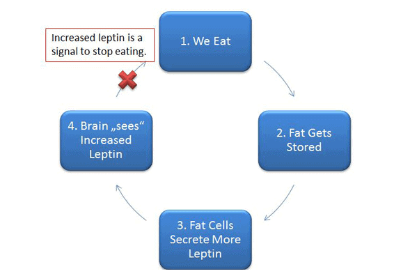 How leptin is supposed to work