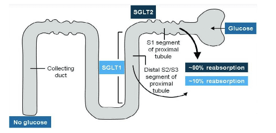 how sglt2 inhibitors work