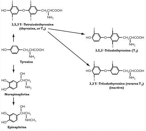 T3 and T4 thyroid hormone production