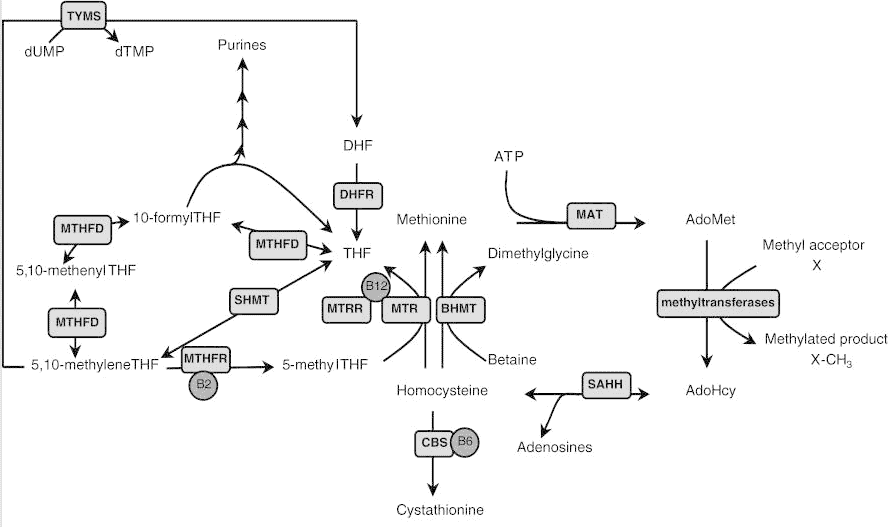 The methylation pathway of Vitamin B12 and homocysteine