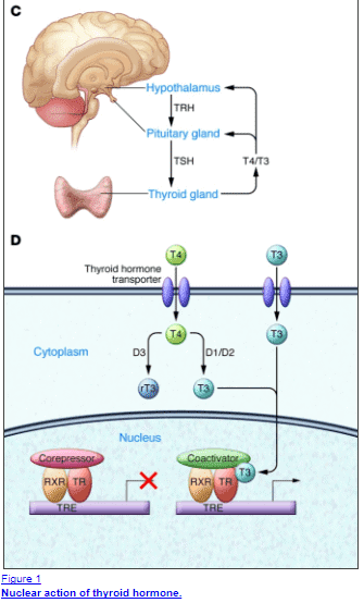 Nuclear action of thyroid hormones at the cellular level, both genomic and non genomic actions