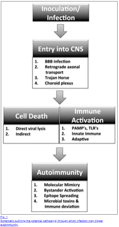 mechanism of autoimmune activation through infection