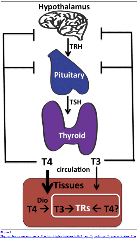 thyroid hormone production and physiology