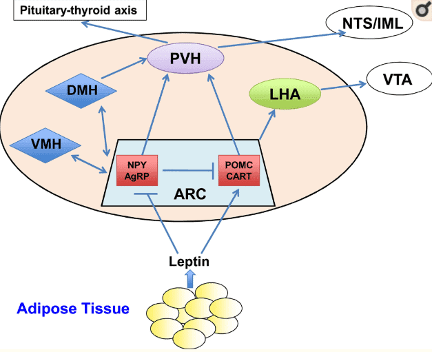 leptin signaling from fat cells
