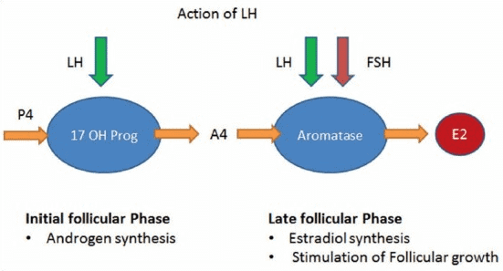 LH and FSH help produce estrogen and progesterone