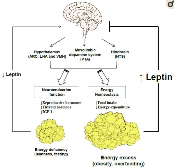 how leptin works in the body to manage weight